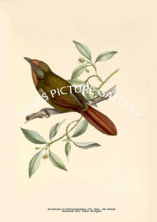 Anabates Erythrophtalmus (Pr. Max. De Wied) --- Anabate Aux Yeux Rouges